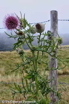 Thistle on the Aubrac plateau Country Fences, Country Farm, Country Life, La Cascade, Old Fences, Farm Life, Belle Photo, Provence, Wild Flowers