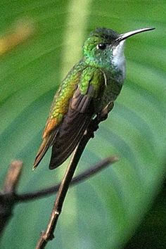 "This winged, emerald jewel is from Trinidad.  BEST PLACE IN AMERICA to see multiple species of HUMMINGBIRDS is Arizona, America's ""hummingbird capital.""  More info at http://www.examiner.com/article/astounding-nature-arizona-holds-the-hummingbird-capital-of-the-united-states"