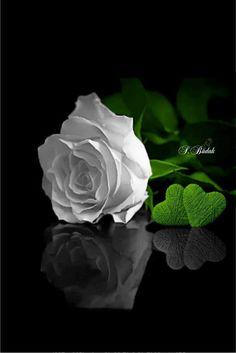 Pin by Lisa Marie ❄⛄❄ on Color Splash! White Roses Background, Black Flowers Wallpaper, Flower Phone Wallpaper, Beautiful Nature Wallpaper, Flower Wallpaper, Black Rose Flower, Beautiful Rose Flowers, Exotic Flowers, Amazing Flowers
