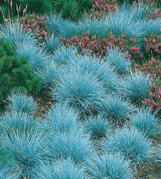 Festuca 'Elijah Blue' - Blue fescue grasses near right side and roses