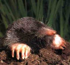 Mole.....destructive little rascals.  They have managed to eat all the Snowdrop & Crocus bulbs!