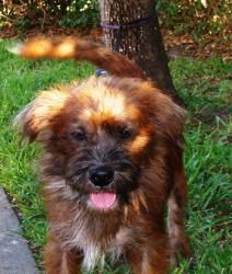 Chip is an adoptable Terrier Dog in Bonita Springs, FL.