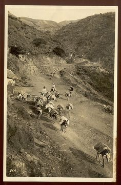 PUERTO RICO - Transporting Goods on Pack Mules - Photo Album of the S.S. 'VICTORIA LUISE' CRUISE, FEB. 1914