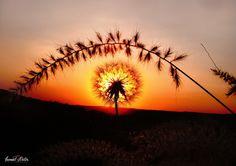 sunset karahindiba flowers - Karahindiba çiçeği gün batarken