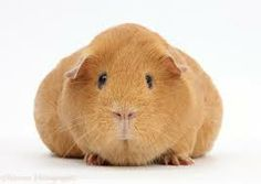 this is the cuties guinea pig ever and its sooooooooooooooooooooooooooooooooooooooooooooooooo fat