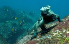 A marine iguana! Volunteer in the Galapagos Islands and see creatures like you've never seen before!