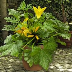 BUCKINGHAM PATIO. 70 days. A new dwarf bush zucchini with high yields of mild, sweet golden fruits on compact 18 inch tall plants. When planted in the ground, space 2 feet apart, they also thrive in patio containers. Best flavor when picked at 6-7 inches.