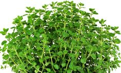 Organic HerbSweet Marjoram  Origanum majorana. by CaribbeanGarden
