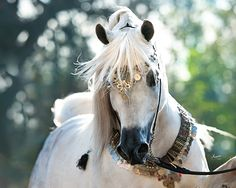 Ramses Mishaal Nadir (US) 2006 Grey Straight Egyptian stallion. Mishaal HP {Ansata Sinan x Mesoudah M by Messaoud} x Ramses Minx {Thee Desperado x Ramses Effendi by Prince Ibn Shaikh} Owned by Mr. Firas Mashal of Alfiras Stud, Abu Dhabi, UAE. Bred by Dr. Lucille Dietrick. Nadir is out of the exquisite, exported Ramses Minx, 2009 US Egyptian Event Supreme Champion Mare & 2009 European Egyptian Event Reserve Champion Mare.