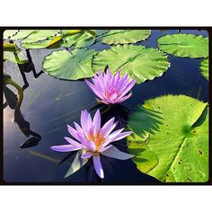 """""""#liliac #violet #garden #Chicago #pond #nature #lilly #leaves #peace #nymphaea #lilies  #flower #plant #floating"""" Photo taken by @akaaki157 on Instagram, pinned via the InstaPin iOS App! http://www.instapinapp.com (10/27/2015)"""