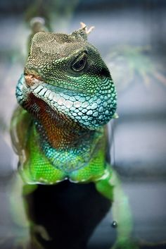 chinese water dragon - what I think the colors on Dinosaurs look like. Reptiles And Amphibians, Mammals, Chinese Water Dragon, Animals Beautiful, Cute Animals, Chameleon Lizard, Exotic Pets, Animal Photography, Animal Kingdom