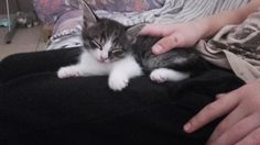 Our cute kitten in my brothers lap.