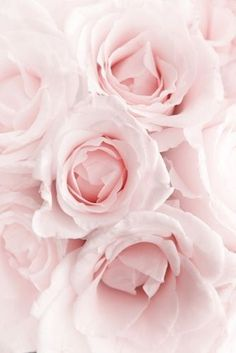 La suavidad de las rosas rosas. ✿⊱╮
