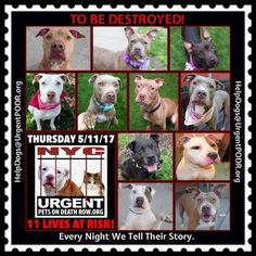 TO BE DESTROYED 05/11/17 - - Info To rescue a Death Row Dog, Please read this:http://information.urgentpodr.org/adoption-info-and-list-of-rescues/ To view the full album, please click here: http://nycdogs.urgentpodr.org/tbd-dogs-page/ - Click for info & Current Status: http://nycdogs.urgentpodr.org/to-be-destroyed-4915/