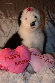 Mercedes, Old English Sheepdog puppy @ Sherrier Shaggy Bottoms