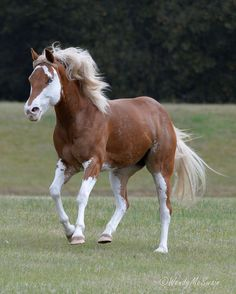 flaxen chestnut sabino with badger face - unknown Paint Horse mare