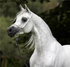 CR Jasmeenah (WH Justice x Fforget Me Not) A 2004 Arabian mare who was World Champion Mare at Salon Du Cheval.