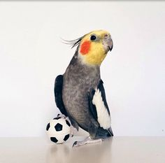 Soccer tiel! ⚽️/ Jack the cockatiel on Instagram
