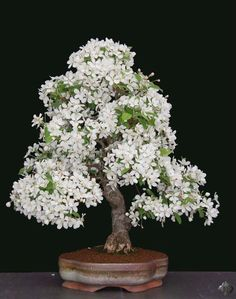 Flowering Bonsai are very popular and fruits on miniature trees fascinate almost everybody. But there are a number of things you must pay attention to if you want to make sure these Bonsai tree Flowering Bonsai Tree, Indoor Bonsai Tree, Wisteria Bonsai, Bonsai Flowers, Ikebana, Bonsai Plante, Plantas Bonsai, Bonsai Styles, Miniature Trees