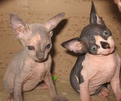 Sphynx Kittens / One is hypnotized already and the other is getting there!!
