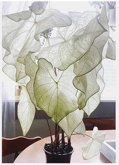 Moonlight Caladium: nature inspires us everyday. Let yourself be inspired as wel Moonlight Caladium: Best Indoor Plants, Indoor Garden, Home And Garden, Potted Plants, Garden Plants, Foliage Plants, Nature Plants, Cool Plants, Flowers Nature