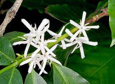 Flowers of Coffea arabica