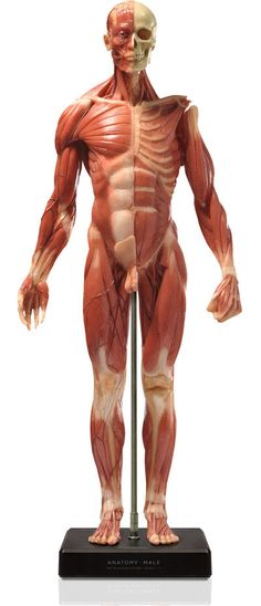 Male figure: Medical v3A 2012 model. the finest superficial muscle anatomical figure available at a desktop size. Ideal for reference, teaching or study, flayed deeper muscles & partly revealed skeleton. realistic hand painted: bone, muscle, fascia, tendon, veins, removable head & removable arms. External metal stand for extra product support & durability for handling & extreme temperatures. Internal 360° turntable. aprox.23x10x5""
