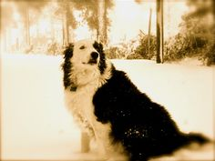 My Border Collie Toby.