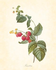 Antique Raspberries Botanical Art Print 8 x 10 Redoute Digital Collage Home Decor Wall Art. $10.00, via Etsy.
