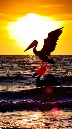 Pelican bird, flying, night silhouette, at sunset Beautiful Birds, Beautiful World, Beautiful Sunset, Naples Sunset, Pelican Bird, Naples Florida, Florida Usa, Scenery, United States