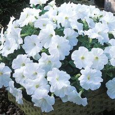 20 X Arrière Petunia Calibrachoa Millions Bells double Sun PLUG plantes