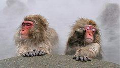 Monos japoneses (Macaca fuscata)