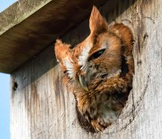 How to Build a Screech-Owl Nest Box <br> Step-by-step instructions for building a home that Eastern and Western Screech-Owls will enjoy. Western Screech Owl, Owl Nest Box, Owl Box, Great Backyard Bird Count, Backyard Birds, Owls In Arizona, Bird House Plans, Barred Owl, Birdhouses