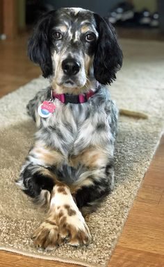 A loving, laid back, 6 year old English Setter female available for adoption from Above and Beyond English Setter Rescue. Big Dogs, I Love Dogs, Cute Dogs, Dogs And Puppies, English Setter Puppies, English Dogs, Beautiful Dogs, Animals Beautiful, Foster Dog