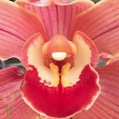 Peach Cymbidium Orchids, large | Wholesale Flowers & DIY Wedding Flowers Cut Flowers, Colorful Flowers, Orchid Flowers, Cymbidium Orchids, Diy Wedding Flowers, Orchid Care, Peach Colors, Easy Diy, Bloom