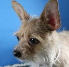 Lacie (Pandora) is an adoptable Yorkshire Terrier Yorkie Dog in Louisville, KY. BALANCED BUDDY - Lively and inquisitive, I'm a happy-go-lucky dog who is eager to please! Whether it's going for walks, ...