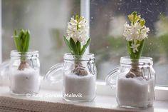 "lite ""snöiga hyacinter"" ~ some ""snowy"" hyacinths Christmas Flowers, White Christmas, Christmas Crafts, Spring Flowers, Winter Wonderland, Mason Jars, Glass Vase, Floral Design, Arts And Crafts"