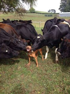 This guy getting kissed by all the cows. | 27 Dogs Having The Time Of Their Lives