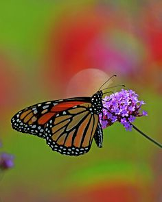 Monarch Butterfly Photograph - Monarch Butterfly by David Lipsy Butterfly Artwork, Monarch Butterfly, Camera Raw, Lipsy, Bokeh, Butterflies, Concord Nh, Photoshop, Wall Art