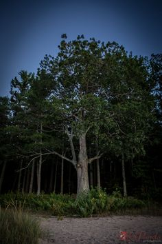 Photograph of a towering Tree on the forest edge by RedPandaProd, $10.00 www.etsy.com/shop/redpandaprod