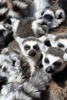 The market is crowded today...  Lemur Family Gathering