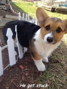Corgi on the Loose Haha! Could the fence be any shorter and pup still got stuck! Cute Funny Animals, Funny Animal Pictures, Funny Dogs, Humorous Animals, Cute Puppies, Cute Dogs, Dogs And Puppies, Poodle Puppies, Animals And Pets