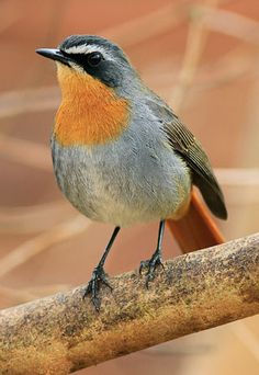 Cape Robin-chat, Cossypha caffra,  Old World flycatcher family Muscicapidae: Kenya south to Namibia, Zambia, Zimbabwe, South Africa, Lesotho, Swaziland.