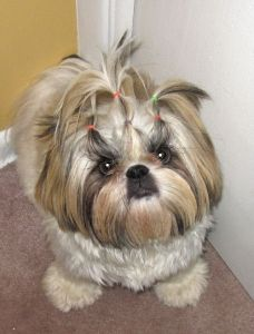Like this grooming for a Shih Tzu. Martika - DoggySpace.com