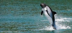 Peale's Dolphin - Reñihué Fjord, Chile | Pablo Negri Edwards - Copyright ©