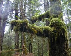 Temperate rainforest. Rainforest Trail, a short walking trail near Tofino, Vancouver Island, BC. Moss and soaring ancient trees.