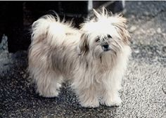 The Kyi Leo was recognized as a companion breed in the United States in 1972.  It is the result of breeding between the Lhasa Apso & the Maltese.  From the Lhasa, the Kyi gets a full-voiced bark which it uses frequently.  From the Maltese, it gets an eager-to-please, effervescent personality that fits well with children or other dogs.  The Kyi Leo can handle heat well.