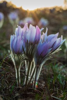 Pasque Flower, Southern Kettle Moraine State Forest, WI