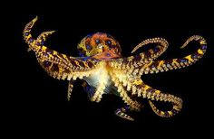Amazing Animals Pictures: One of the world's most venomous marine animals.The blue-ringed octopuses (genus Hapalochlaena) (25 Pics)