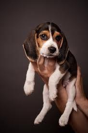 LOVE baby beagles!! #beagle